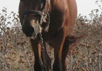 red stallion photo 04