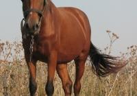 red stallion photo 05