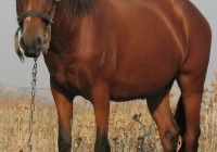 red stallion photo 06