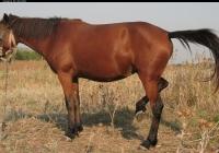 red stallion photo 12