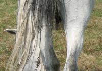 white horse photo 13