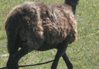 brown sheep photo 02