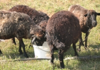 brown sheep photo 04
