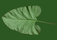 Free Burdock Leaf Texture 1