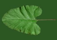 Free Burdock Leaf Texture 2