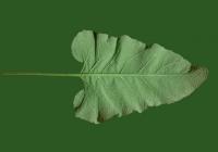 Free Burdock Leaf Texture 3