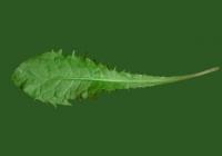 Free Dandelion Leaf Texture Back