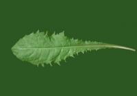 Free Dandelion Leaf Texture Back Front