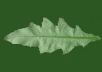Sow Thistles Leaf Texture Back