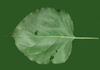 Apricot Tree Leaf Texture