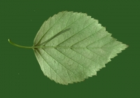 Birch Tree Leaf Texture