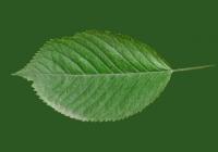 Free Cherry Tree Leaf Texture 21