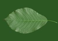 Free Cherry Tree Leaf Texture 22