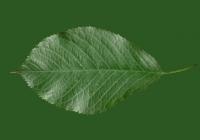 Free Cherry Tree Leaf Texture 23