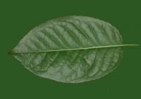 Free Cherry Tree Leaf Texture 24