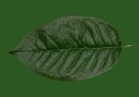 Free Cherry Tree Leaf Texture 25