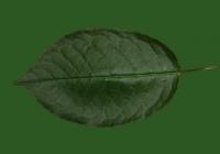 Free Cherry Tree Leaf Texture 26