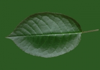 Free Cherry Tree Leaf Texture 27