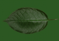 Free Cherry Tree Leaf Texture 28