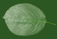 Free Cherry Tree Leaf Texture 29