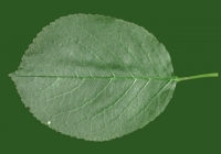 Free Cherry Tree Leaf Texture 30
