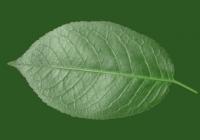 Free Cherry Tree Leaf Texture 31