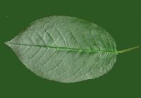 Free Cherry Tree Leaf Texture 32