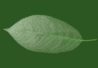 Free Cherry Tree Leaf Texture 33