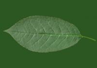 Free Cherry Tree Leaf Texture 34