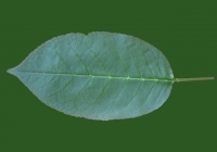 Free Cherry Tree Leaf Texture 35