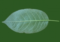 Free Cherry Tree Leaf Texture 36