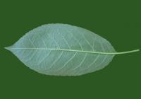 Free Cherry Tree Leaf Texture 38
