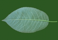 Free Cherry Tree Leaf Texture 40