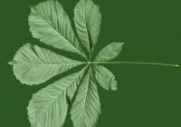 Free Chestnut Tree Leaf Texture 01