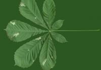 Free Chestnut Tree Leaf Texture 02