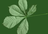 Free Chestnut Tree Leaf Texture 03