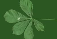 Free Chestnut Tree Leaf Texture 04