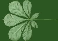 Free Chestnut Tree Leaf Texture 05