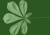 Free Chestnut Tree Leaf Texture 06