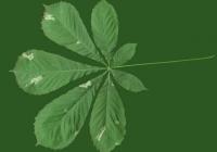 Free Chestnut Tree Leaf Texture 07