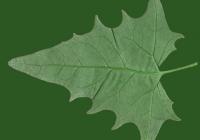 Goosefoot leaf