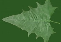 Free Goosfoot Leaf Texture 02
