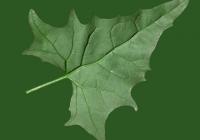 Free Goosfoot Leaf Texture 04