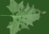 Free Goosfoot Leaf Texture 05