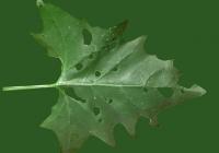 Free Goosfoot Leaf Texture 06