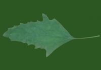 Free Goosfoot Leaf Texture 07
