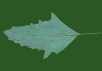 Free Goosfoot Leaf Texture 08