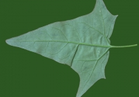 Free Goosfoot Leaf Texture 10