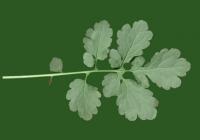 Free Celandine Leaf Texture 3