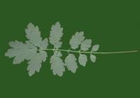 Free Celandine Leaf Texture 1